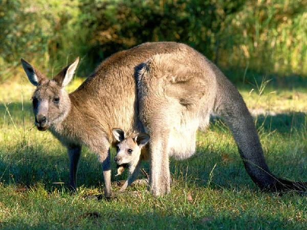 Kanguri - Australia