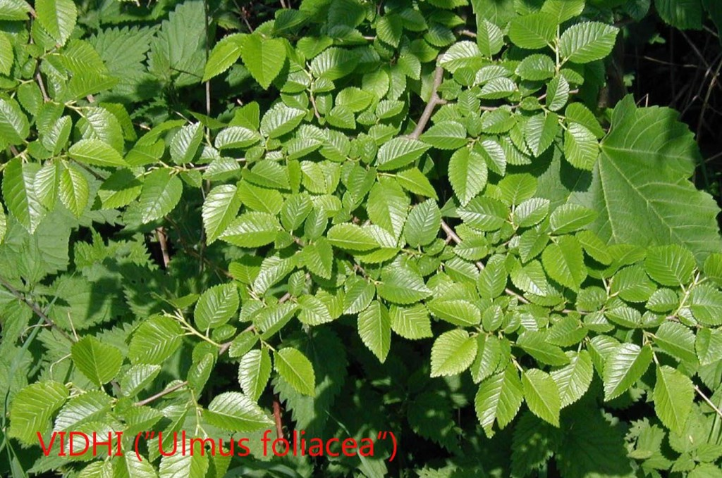 Vidhi (ulmus foliacea)