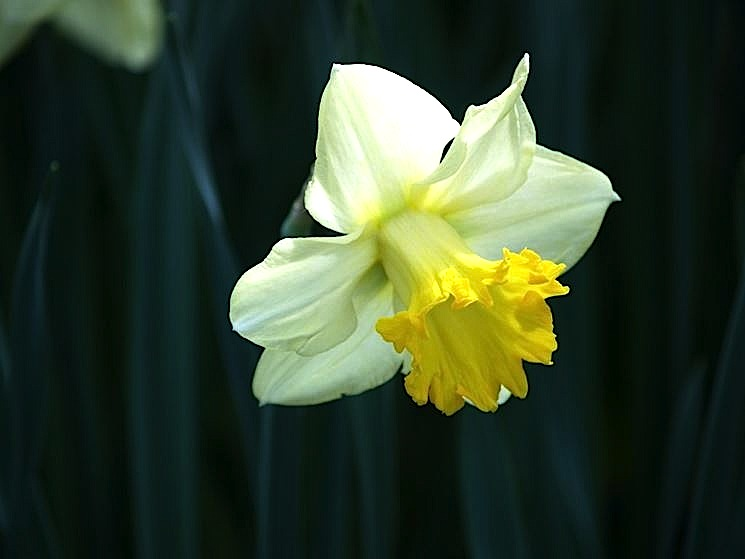 Narcisius