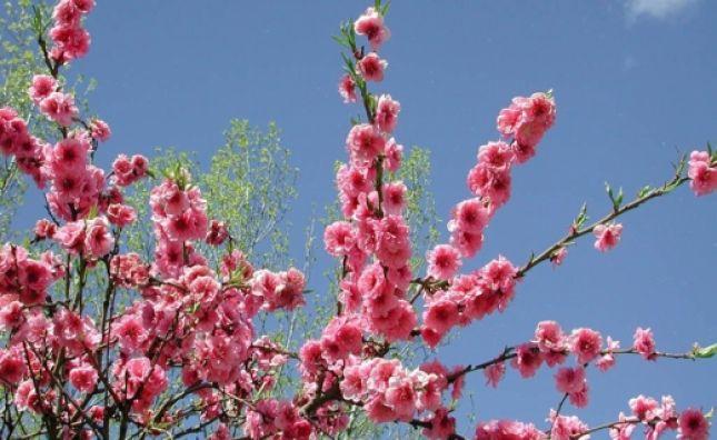 Lulet e kajsisë në Ditën e Verës