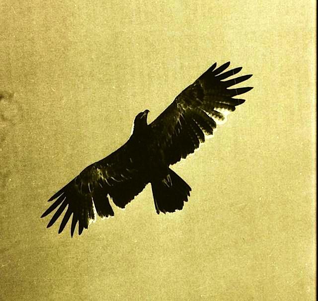 Shqiponjë e fotografuar nga Gani Xhengo në Curraj Epër