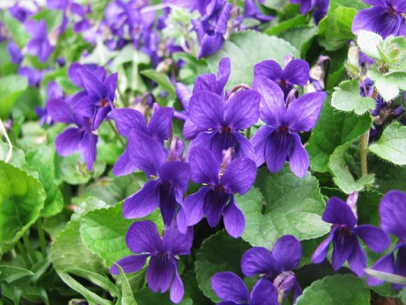 Viola albanica - vjollca, violeta, viola, manushaqia, menekshia.